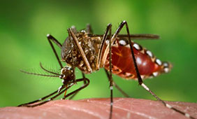 Aedes aegypti, known as the yellow fever mosquito, carries the Zika virus.