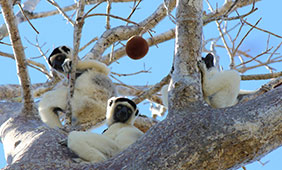 A group of lemurs in Kirindy Mitea National Park in Madagascar.