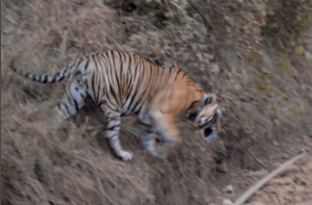 A tiger in Sariska approaches a road. Photo: Anjana Pasvicha/VOA