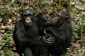 Two bonded adolescent chimps in Kibale National Park, Uganda. Photo by Aaron Sandel.